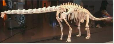 ブラキオサウルスの骨格模型の画像