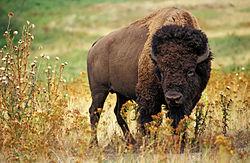 American_bison_k5680-1_edit