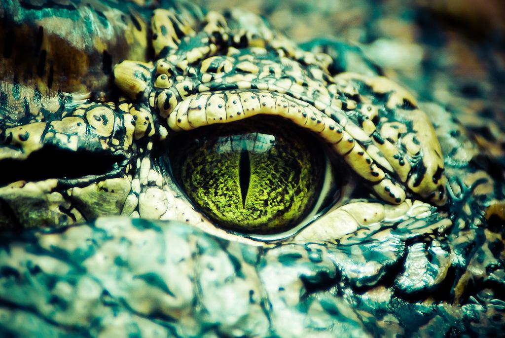 爬虫類であるワニの瞳の写真