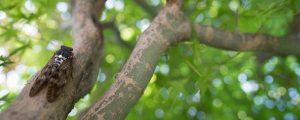 木に止まるセミ